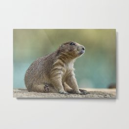 Praire dog sitting in the sun Metal Print