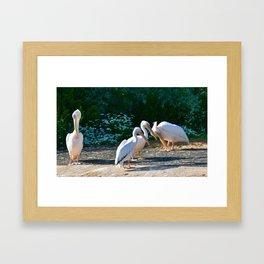 Great White Pelicans Framed Art Print