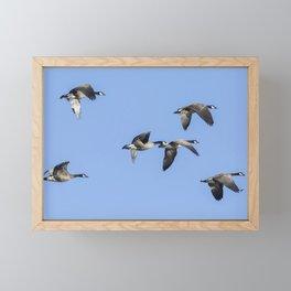 Six Dusky Canada Geese Flying Framed Mini Art Print