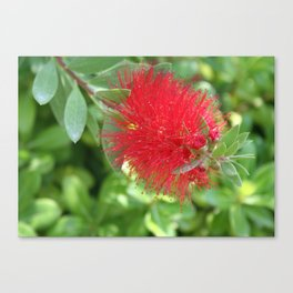 Beautiful Bottle Brush Flower With Garden Background Canvas Print