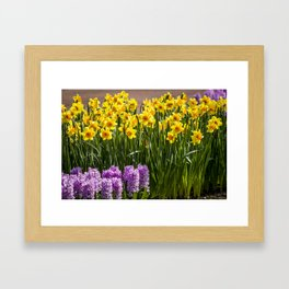 Rows of Purple Hyacinth Flowers and Yellow Daffodils in Amsterdam, Netherlands Framed Art Print