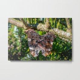Red Admiral Butterflies Mating Metal Print