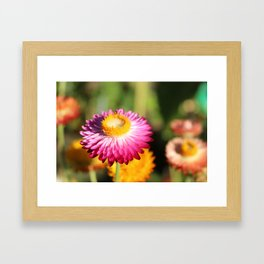 Straw Flowers, Hansville, WA Framed Art Print