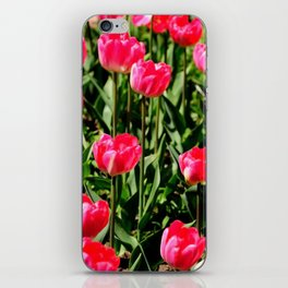 nature poster of pink tulips blooming in the garden iPhone Skin