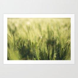 Green Barley Hay Growing on Summer Field Art Print