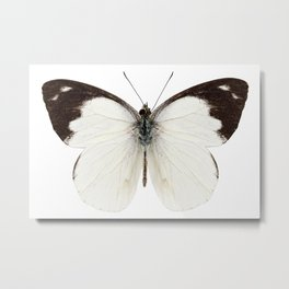 White butterfly species Apias indra indra Metal Print