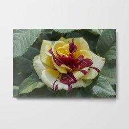 bicolored roses in bloom in the garden Metal Print