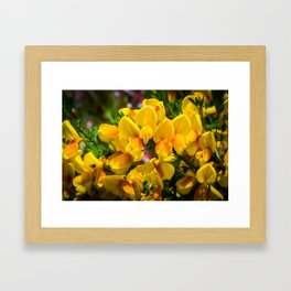 Scotch Broom Framed Art Print