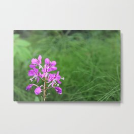 Fireweed Wildflower Metal Print