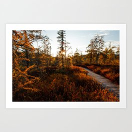 Larch Madness | Tamarack Trees in the Adirondack Mountains Art Print