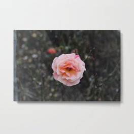 Blooming Blush Rose Metal Print