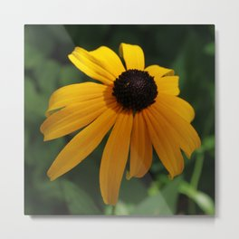 Golden glow of a black-eyed Susan Metal Print