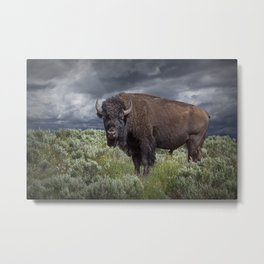 American Buffalo Bison in Yellowstone National Park Metal Print