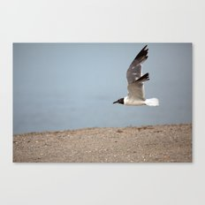 Laughing Gull in Flight Canvas Print
