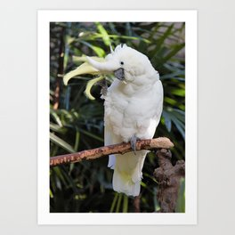 Sulfur-Crested Cockatoo Salutes the Photographer Art Print