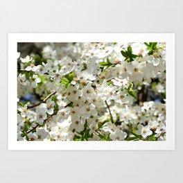 Blooming cherry Art Print