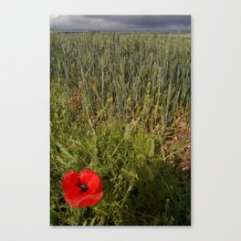 Unripe Wheat Field and Poppy Canvas Print