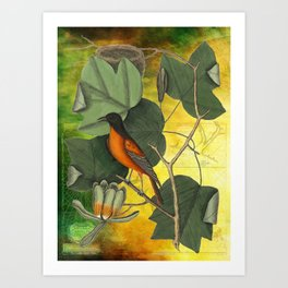 Baltimore Oriole on Tulip Tree, Vintage Natural History and Botanical Art Print