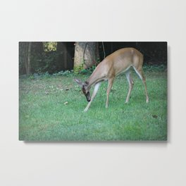 Beautiful fawn in the quest for food Metal Print