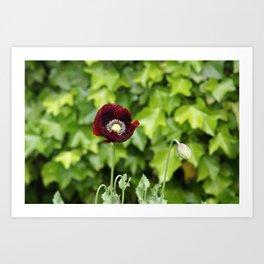 Opium Flower Art Print