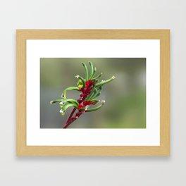 Australian Kangaroo Paw Flower Framed Art Print
