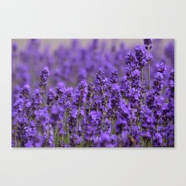 the smell of lavender -c- Canvas Print
