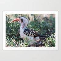 A red-billed hornbill, Serengeti national park, Tanzania Art Print