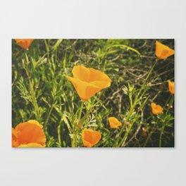 California Poppies 006 Canvas Print