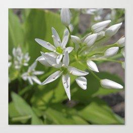 bear´s garlic bloom II Canvas Print