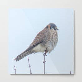 Female Kestrel (Sparrowhawk) 15 Metal Print