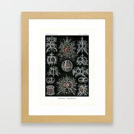 Vintage Stephoidea Print by Ernst Haeckel, 1904 Educational Chart Framed Art Print