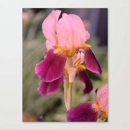 Tall Bearded Iris named Indian Chief Canvas Print