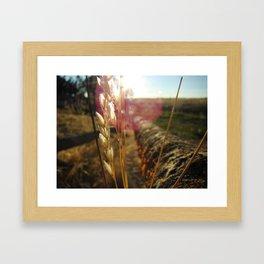 Sun Gazing Wheat Framed Art Print