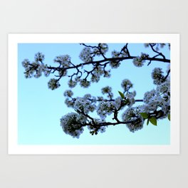 Early Morning Pear Blossom Art Print