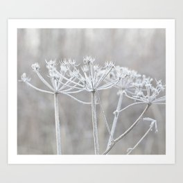 cow parsley plant  with hoarfrost in winter Art Print