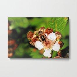 Honey Bee on a Blackberry flower Metal Print