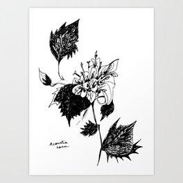 Acourtia nana Art Print