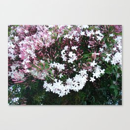 Beautiful Jasmine Flowers In Full Bloom  Canvas Print