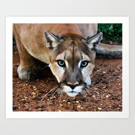 Hover-Cat ~Tin Cup ~ TC The Mountain Lion Art Print