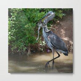 Great Blue Heron Catching Huge Frog - 2 Metal Print