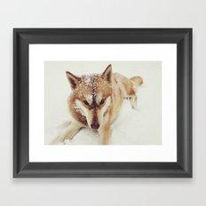 Siberian Husky In The Snow Framed Art Print