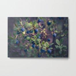 Alaskan Blueberries on the bush, photograph Metal Print