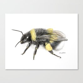 White-tailed bumblebee Canvas Print