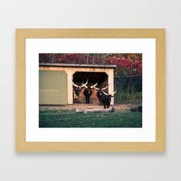 The bulls Framed Art Print