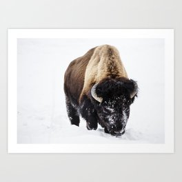 American bison or buffaloes in Yellowstone National Park in the northwest corner of Wyoming Art Print