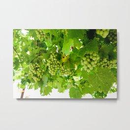 Grape Vine in Croatia Metal Print