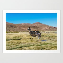 Mother and Baby Llama in Bolivia Art Print