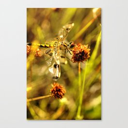 Black-tailed Skimmer Dragonfly Canvas Print