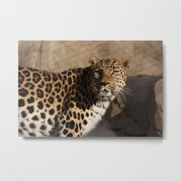 """What Was That"" Amur Leopard Metal Print"