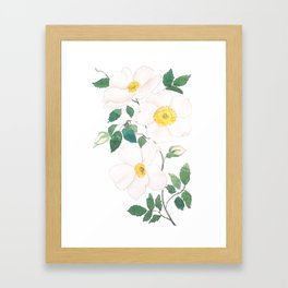 white wild Rosa rubiginosa watercolor Framed Art Print